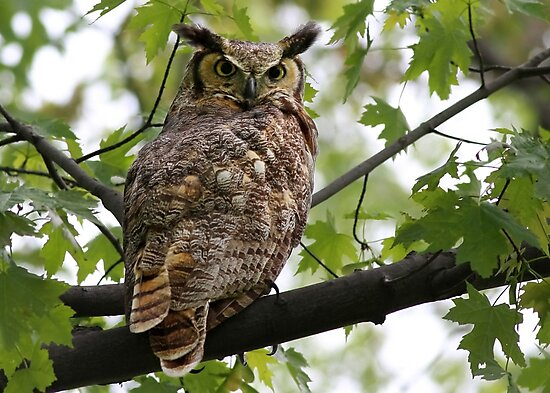 Great Horned Owl by Jim Cumming