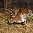 Snowshoe Hare running through the meadow in spring by Jim Cumming