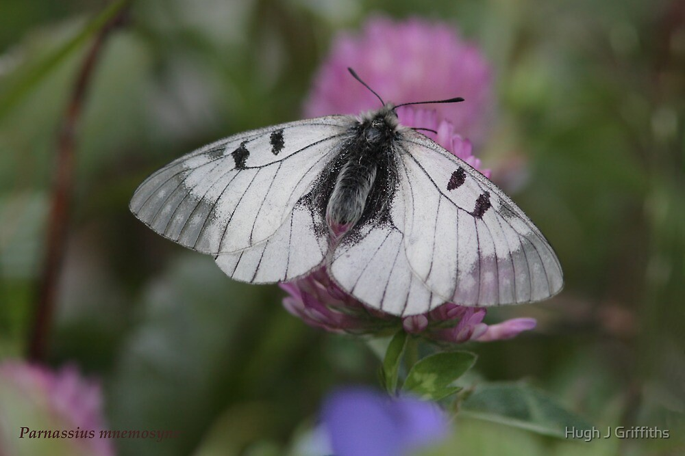 Clouded Apollo butterfly by Hugh J Griffiths