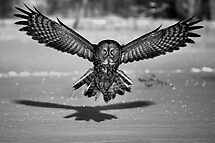 Great Grey Owl B&W by Jim Cumming