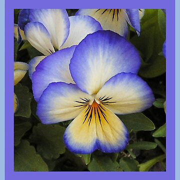 Blue and Yellow Viola by BettyMackey