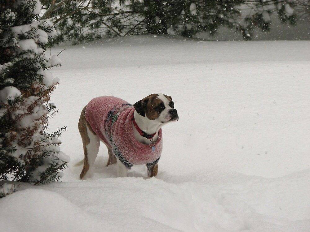boxer in the snow by jack robinson