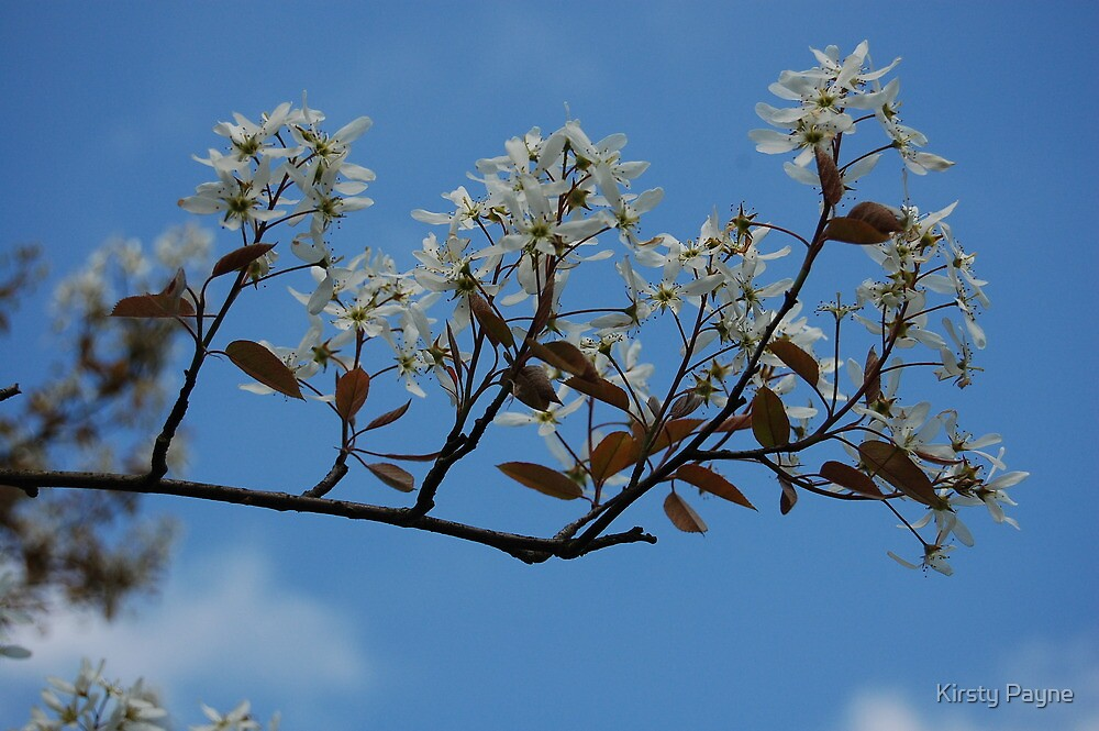 White flowers, blue sky. by Kirsty Payne