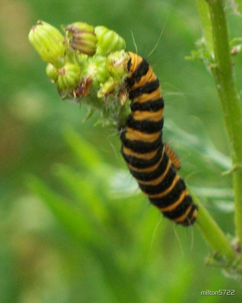 Cinnabar Moth caterpillar by milton5722