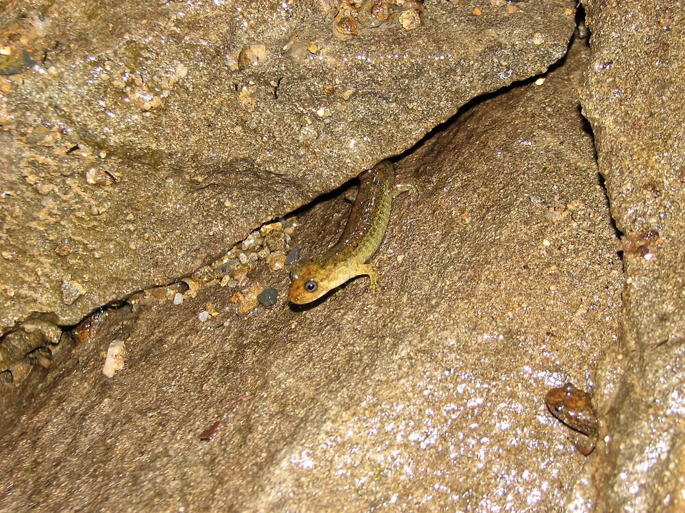 how many salamanders by jack robinson