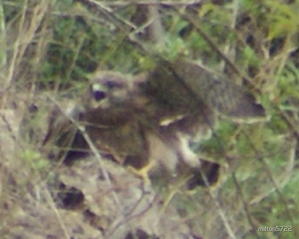 Kestrel chick in a flap by milton5722