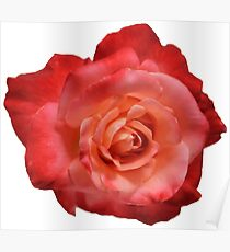 Ombré Red Garden Rose I - Hipster/Pretty/Trendy Flowers Poster