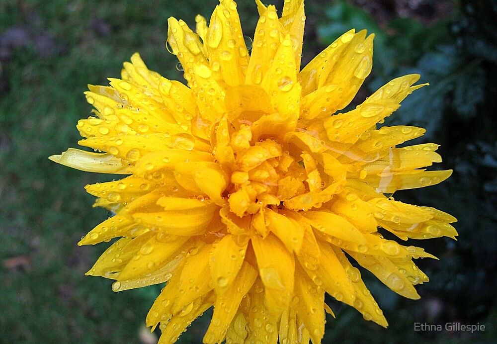 Yellow Chrysanthemum by Ethna Gillespie