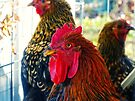 Handsome Rooster by FrankieCat