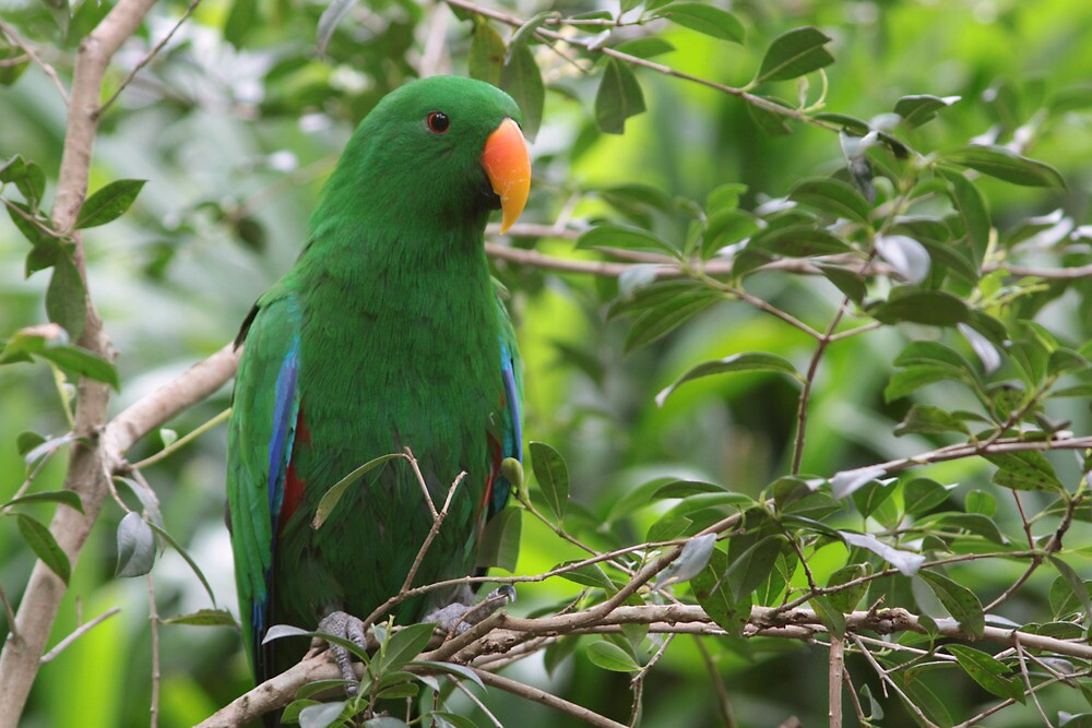 Male Eclectus Parrot by smallan