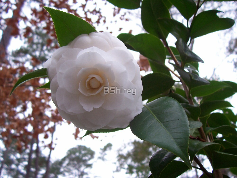 White Camellia by BShirey