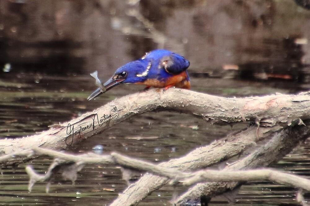 azure kingfisher and fish by Gaylene Norton