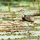 Comb Crested Jacana by mncphotography