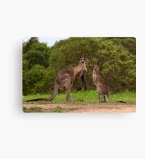 Eastern grey Kangaroos - Australia Canvas Print