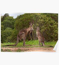 Eastern grey Kangaroos - Australia Poster