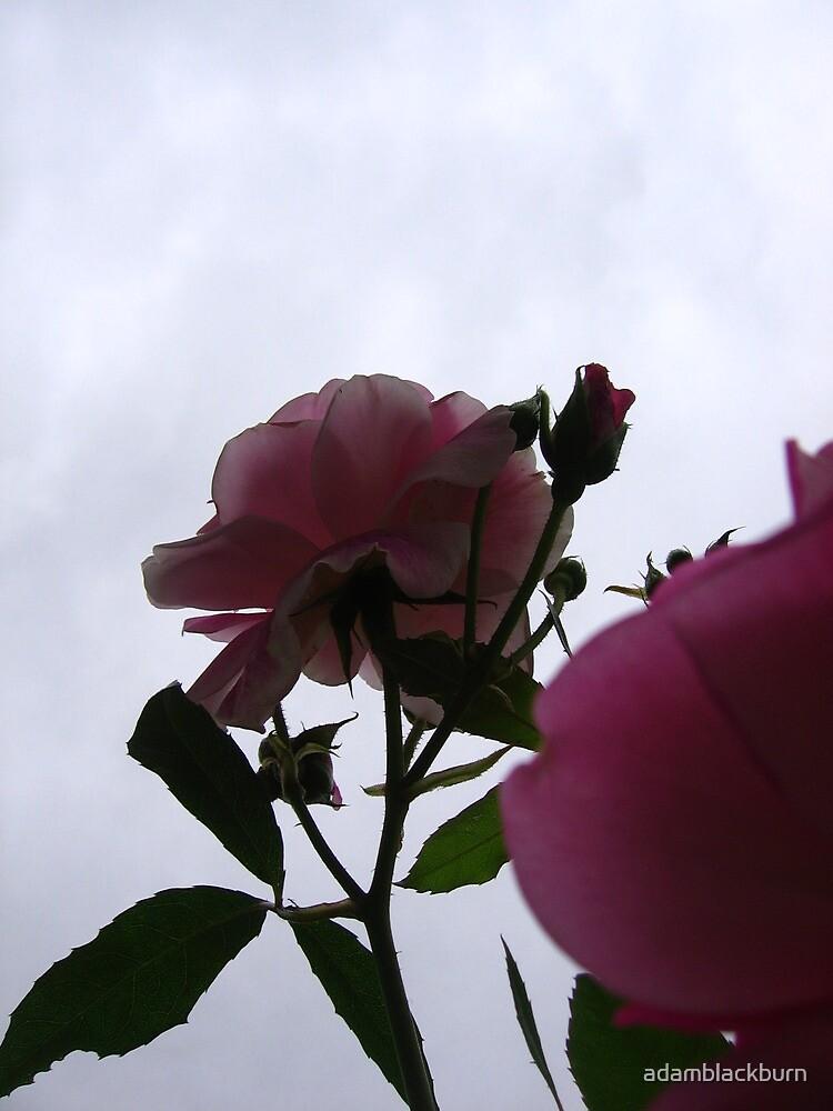 Bottom-up rose by adamblackburn
