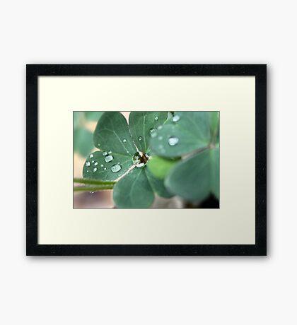 Clover Drops Framed Print
