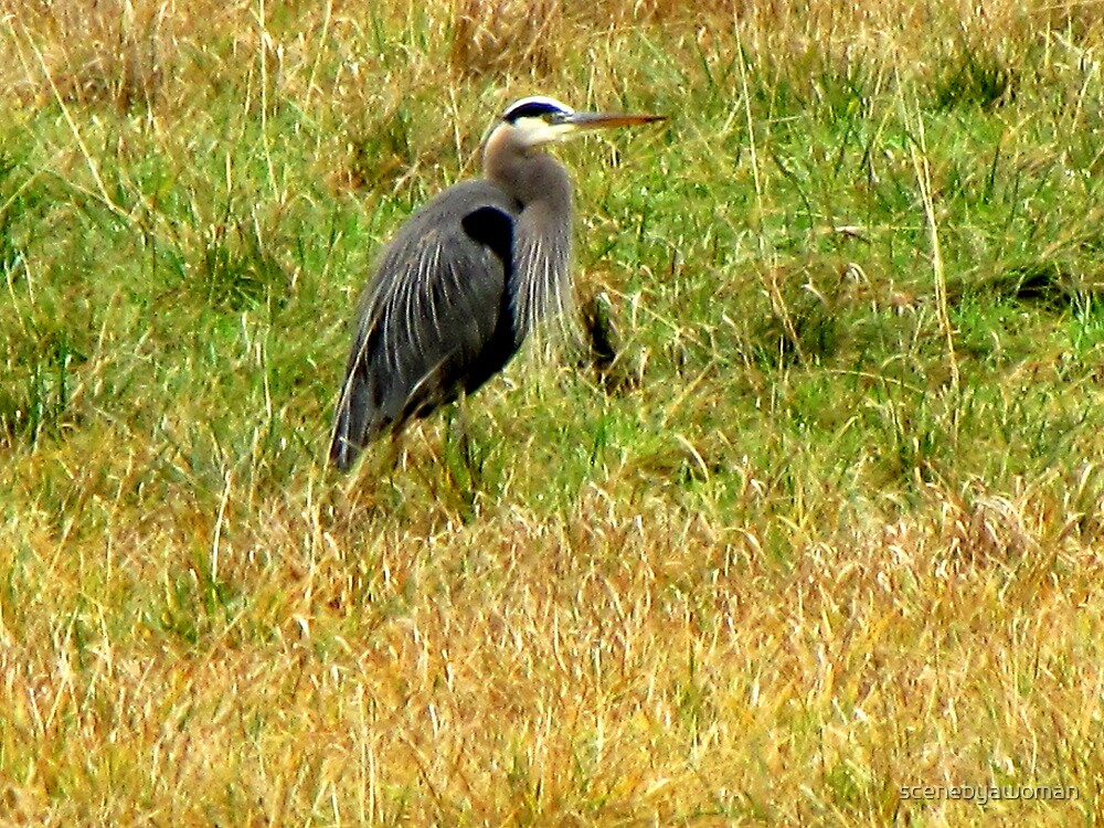 Young Blue Heron by scenebyawoman