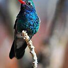Broad-Billed Hummingbird by Barbara Manis