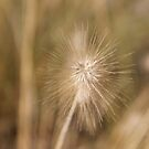 macro photography, grass family, nature, summer, seed, outdoors, dandelion, bright, grass, growth, sharp, horizontal, close-up, no people, plant, day by znamenski