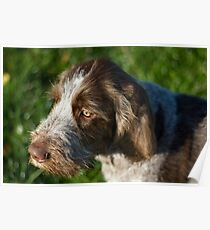 Brown Roan Italian Spinone Puppy Dog Head Shot Poster