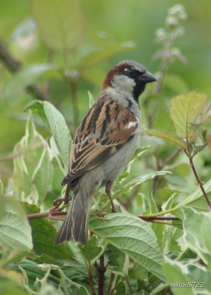 Tree Sparrow by milton5722