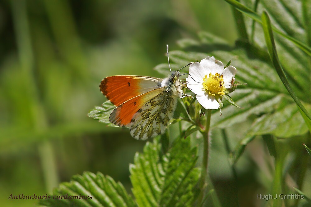male Orange-tip butterfly by Hugh J Griffiths