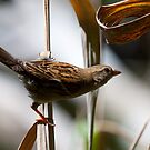 Sparrow by margotk