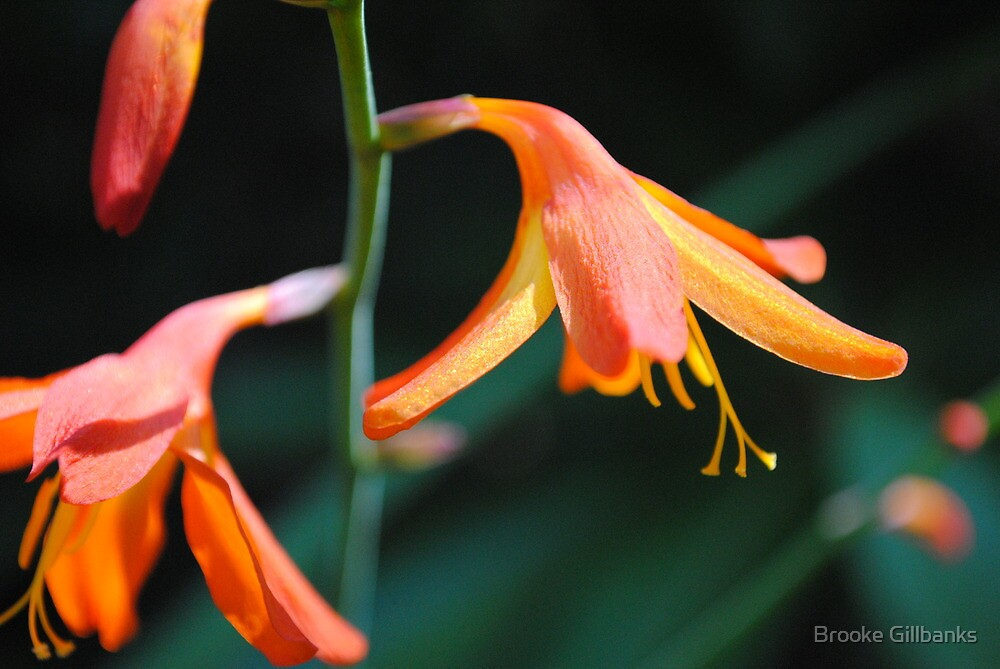 orange Bell flowers by Brooke Gillbanks