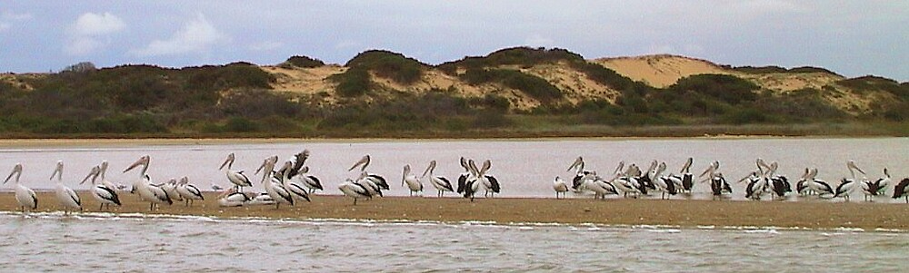 Pelicans on the Coorong South Australia by jembot