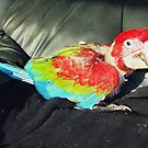 macaw 9 weeks by Goldenspirit
