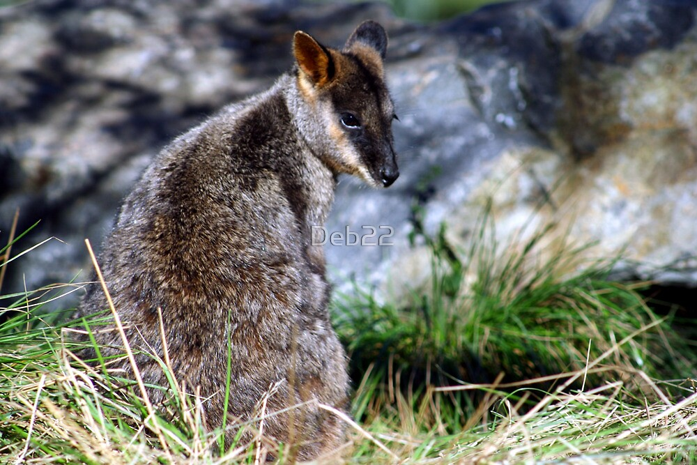 Wallaby in Victoria, Australia by Deb22