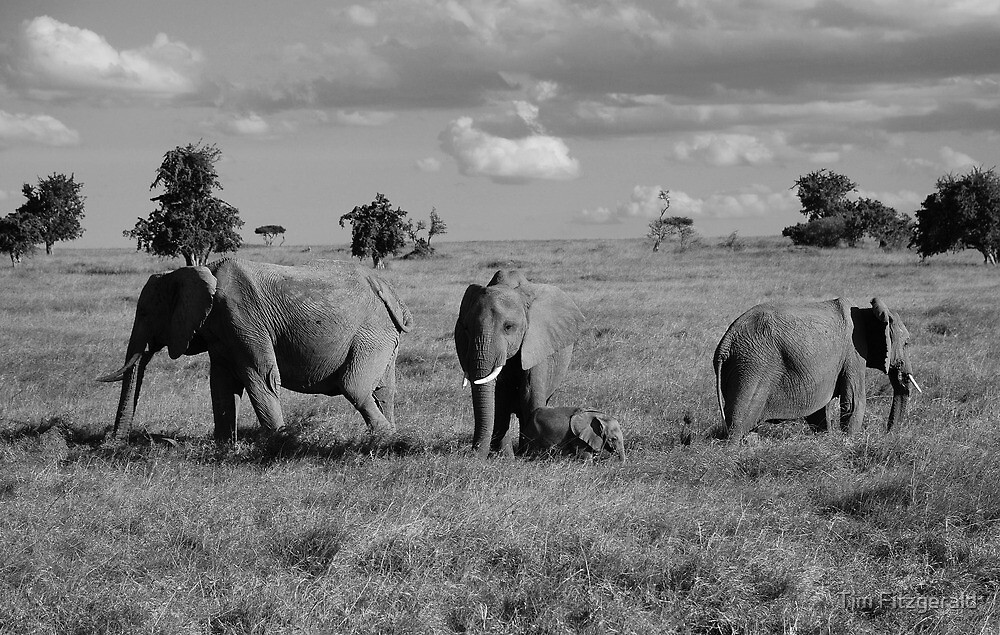 Elephant family by Tim Fitzgerald