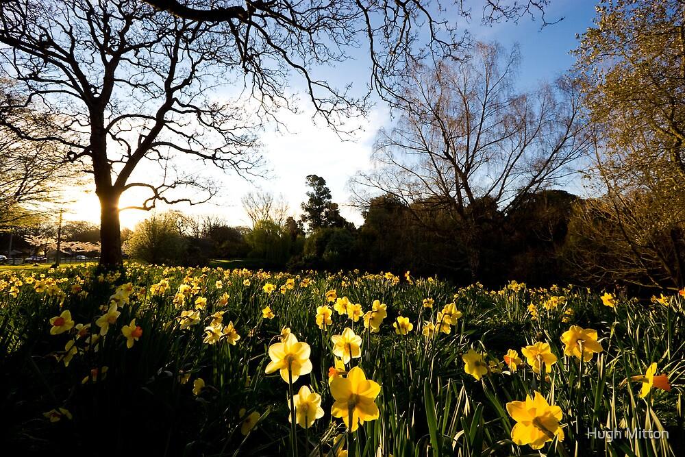 Daffodil Crop by Hugh Mitton