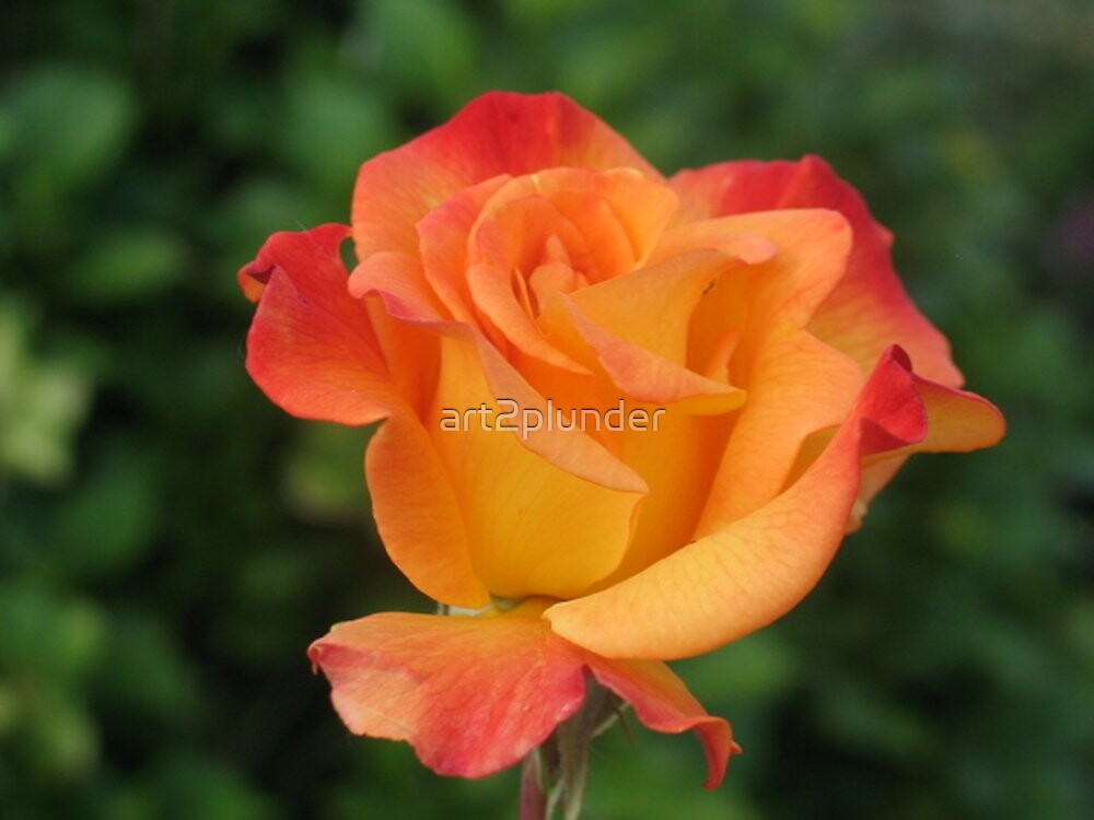 An Orange Rose by art2plunder