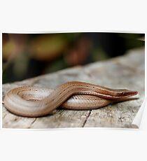 Burton's legless lizard - Lialis burtonis Poster