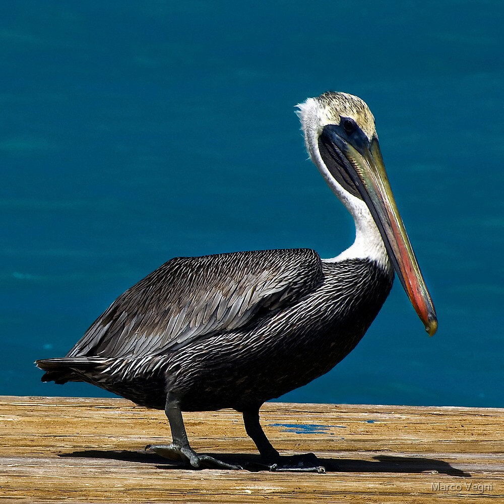Pelican Caribbean by Marco Vegni