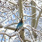 Blue Jay in Snow by Steve Hunter