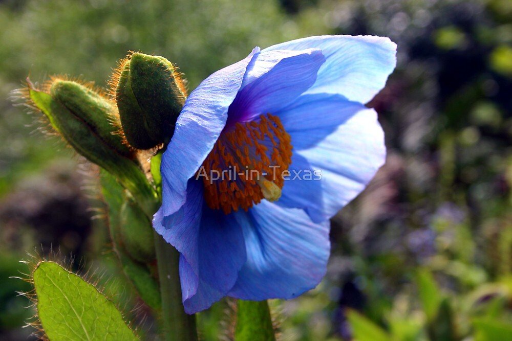 Blue Flower in Scotland by April-in-Texas
