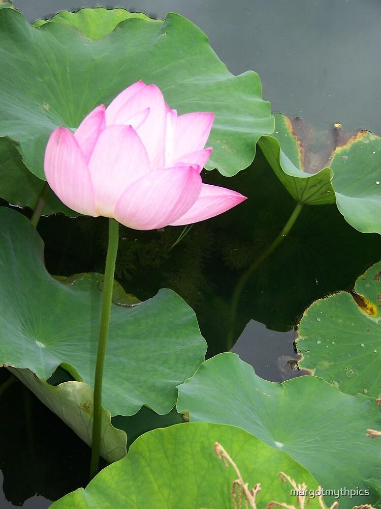 lotus by margotmythpics