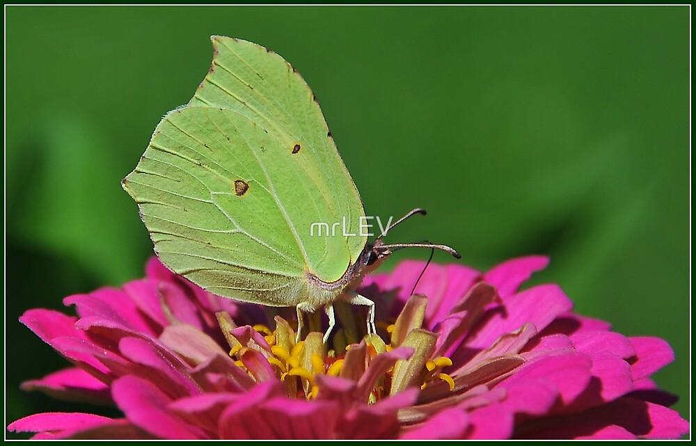 Butterfly III. by mrLEV