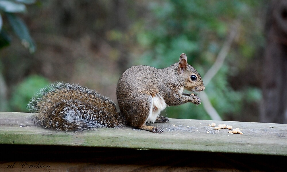 Gray Squirrel II by rd Erickson