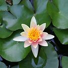 Water Lily by ECH52
