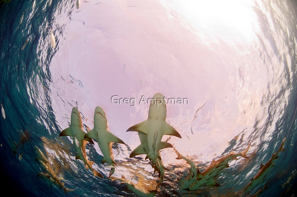 Dance of the Sharks by Greg Amptman