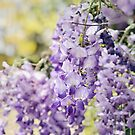 Wisteria in the sun  by karenanderson