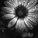Gentle tears - black and white flower study by Agnes McGuinness