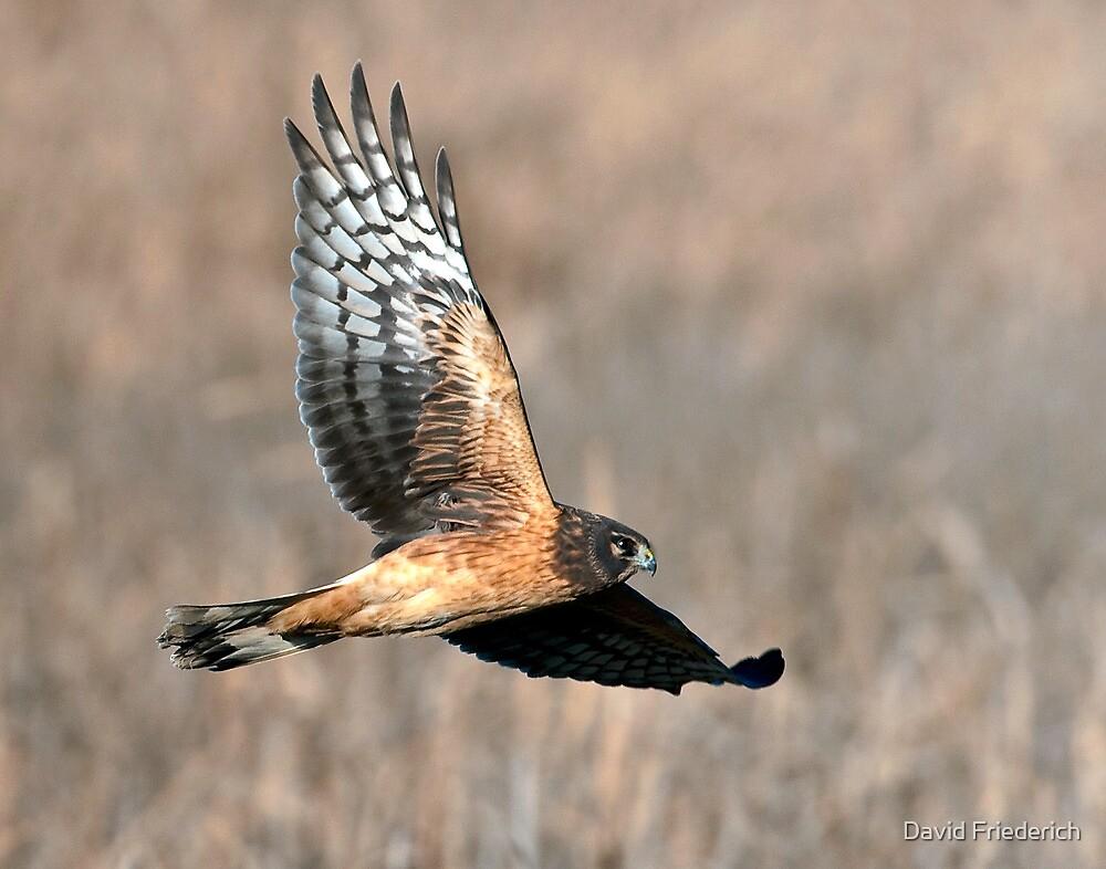 Northern Harrier by David Friederich