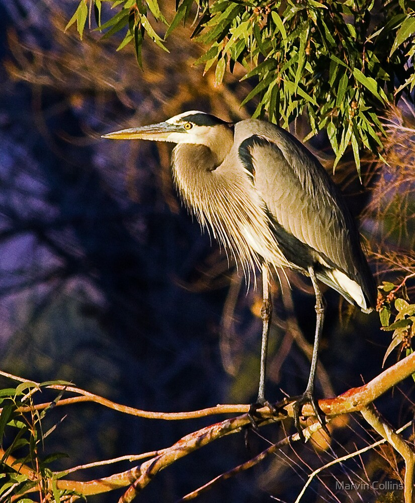 122709 Great Blue Heron by Marvin Collins
