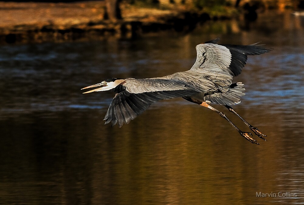 1227091 Great Blue Heron by Marvin Collins