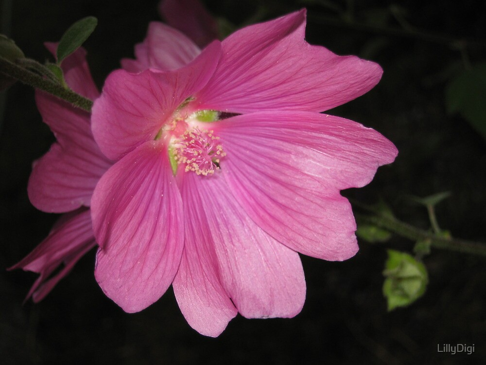 Pink flower by LillyDigi